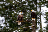 Eagles, Hawks and other Birds of Prey