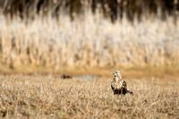 Ruff-Legged Hawk