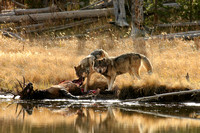 Wolf Kill - Yellowstone Park