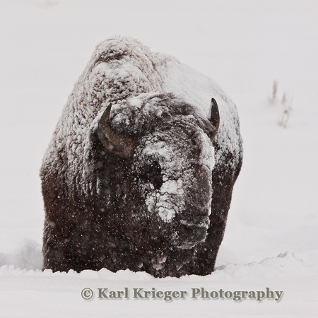 Winter Bison - Yellowstone Park